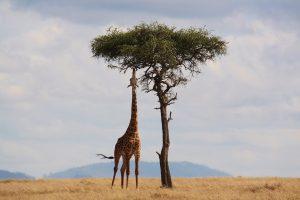 アフリカのキリンの画像