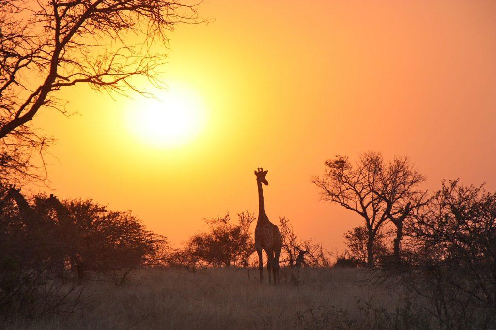 夕日とアフリカのキリンの画像