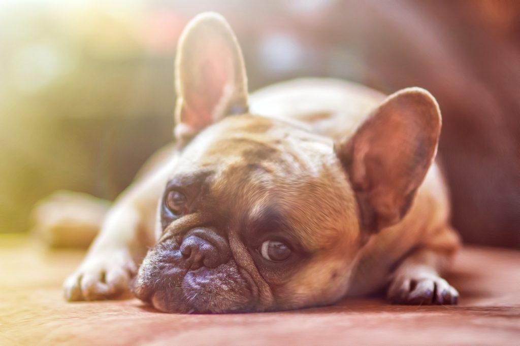 犬が疲れてこちらを見ている画像